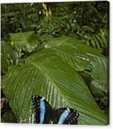 Morpho Butterfly In Rainforest Ecuador Canvas Print