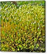Moss And Fruiting Bodies - Green Lane Pa Canvas Print
