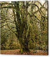 Moss-covered Bigleaf Maple  Canvas Print
