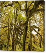 Moss-covered Maple Grove Canvas Print