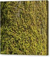 Moss Covered Tree Olympic National Park Canvas Print