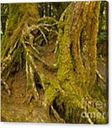 Moss-covered Tree Trunks  Canvas Print