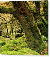 Moss Covered Trees In A Forest Canvas Print