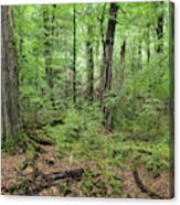 Moss Covered Trees In Forest, Lord Canvas Print