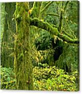 Moss Draped Big Leaf Maple California Canvas Print