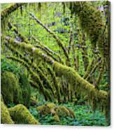 Moss Grows On Vine Maple Trees  Acer Canvas Print