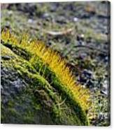 Moss In The Light Canvas Print