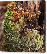 Moss On A Tree Canvas Print