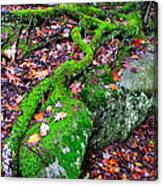 Moss Roots Rock And Fallen Leaves Canvas Print