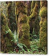 Mossy Big Leaf Maples In Hoh Rainforest Canvas Print