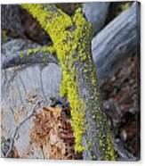 Mossy Canvas Print