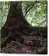 Mossy Roots Canvas Print