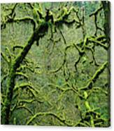 Mossy Trees Leafless In The Winter Canvas Print