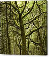 Mossy Welsh Forest  Canvas Print
