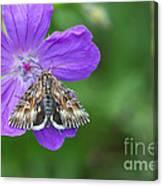 Moth Feeding On Geranium Sanguineum Canvas Print