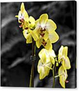 Moth Orchid 2 Canvas Print