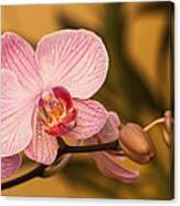 Moth Orchid Canvas Print