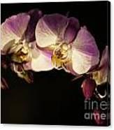 Moth Orchids Canvas Print