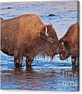 Mother And Calf Bison In The Lamar River In Yellowstone National Park Canvas Print