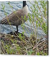 Mother And Child Canadian Geese Canvas Print
