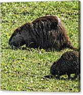Mother And Child - Coypu - Nutria Canvas Print