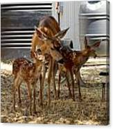 Mother And Two Fawn IIi Canvas Print