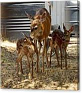 Mother And Two Fawn  Canvas Print