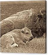 Mother Buffalo And Calf Sepia Canvas Print
