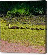 Mother Duck And Baby Ducks Canvas Print