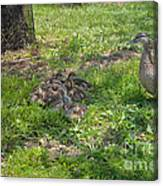 Mother Duck With Nest Canvas Print