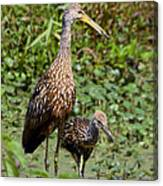 Mother Limpkin And Colt Canvas Print