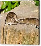 Mother Rat With Youngster Canvas Print