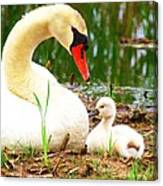 Mother Swan And Baby Canvas Print