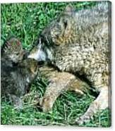Mother Wolf Nuzzles Cubs Canvas Print