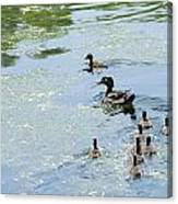 Mother Wood Duck Canvas Print