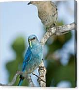Mountain Bluebird Pair Canvas Print