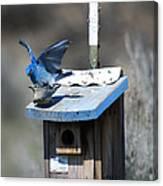 Mountain Bluebirds Mating Canvas Print