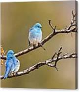 Mountain Bluebirds Canvas Print