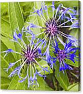 Mountain Bluet Flowers Canvas Print