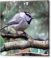 Mountain Chickadee On A Rainy Day Canvas Print