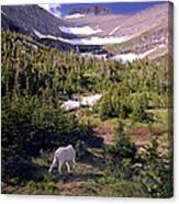 Mountain Goat 5 Canvas Print