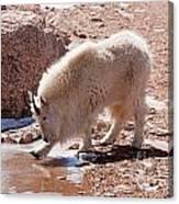 Mountain Goat Breaking Ice On Mount Evans Canvas Print