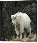 Mountain Goat Kid Canvas Print