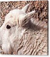 Mountain Goat Kid Portrait On Mount Evans Canvas Print
