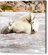 Mountain Goat Mother And Baby Canvas Print