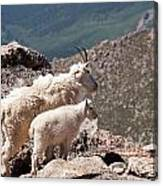 Mountain Goat Nanny And Kid Enloying The View On Mount Evans Canvas Print