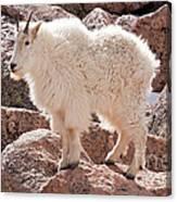 Mountain Goat On Mount Evans Canvas Print