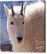Mountain Goat Portrait On Mount Evans Canvas Print