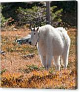 Mountain Goats Of Glacier Canvas Print