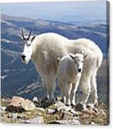 Mountain Goats - Quandary Peak Canvas Print